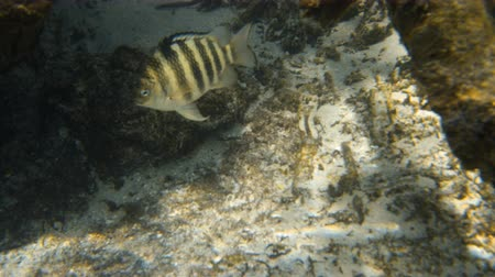 mangue : A shot of a fish swimming near the sea floor. The fish is striped with black pattern.