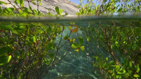 A shot of a man coming through the mangroves. Green leaves grow onto mangroves branches.