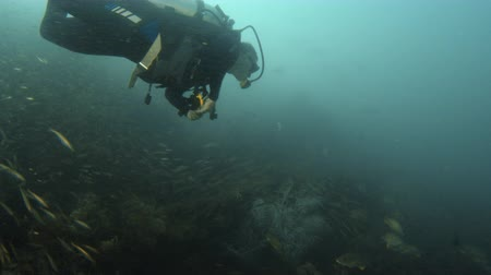 A long shot of a diver approaching a school of small fish. The school of fish isnt rattled by the diver.