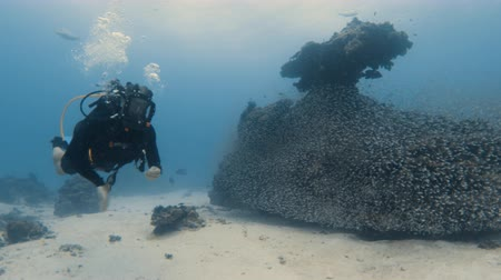 A wide shot of a scuba diver getting close to a coral reef. The reef is surrounded by a school of small fish.