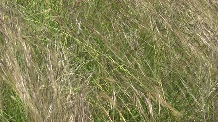 gracioso : Close up shot of beautiful grass swaying gently in the wind Vídeos