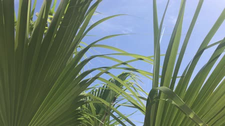 The leaves of a California palm tree sway in the wind against the blue sky. Bright sunny day Wideo