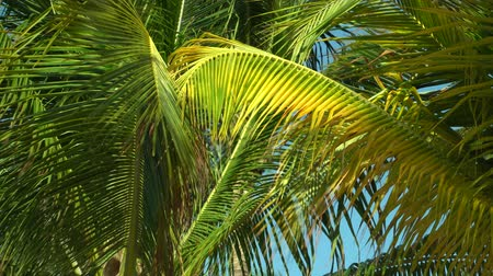ostrovy : Leaves of coconut palms fluttering in the wind against blue sky. Bottom view. Bright sunny day. Riviera Maya Mexico.