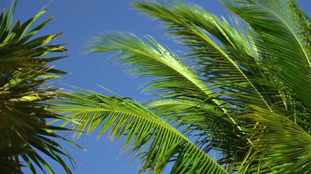 breezy : Leaves of coconut palms fluttering in the wind against blue sky. Bottom view. Bright sunny day. Riviera Maya Mexico.