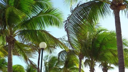Çırpınan : Leaves of coconut palms fluttering in the wind against blue sky. Bottom view. Bright sunny day. Riviera Maya Mexico.