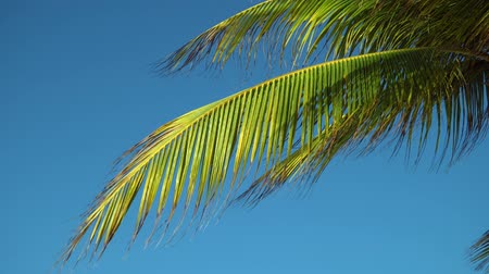 new mexico : Leaves of coconut palms fluttering in the wind against blue sky. Bottom view. Bright sunny day. Riviera Maya Mexico.