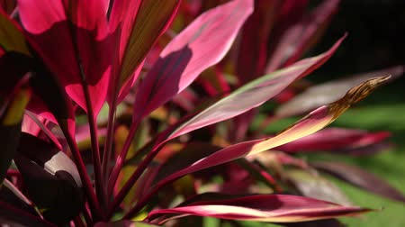 estame : Close-up view of a beautiful tropical flower of red color. Macro shot depth of field. Sunny day in Riviera Maya Mexico. Stock Footage