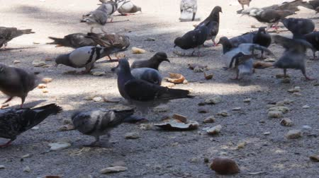 pesquisa : Flock of pigeons in the city