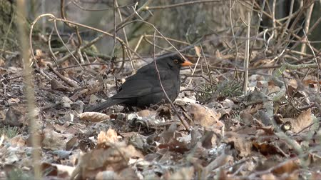 turdus merula : Blackbird in search of food Stock Footage