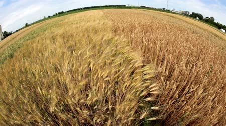 pszenica : Our planet with different varieties of wheat grown in the vicinity. Fish eye view. Wideo