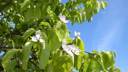 pigwa : quince flowers are moving in the wind