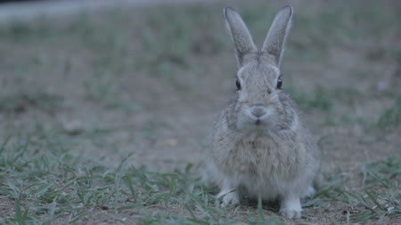 króliczek : Bunny eats grass and looks at camera Wideo