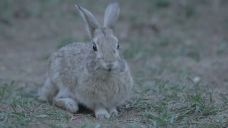 nyuszi : Bunny scratches ear, eats grass and exits frame