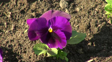 maceška : Pansies