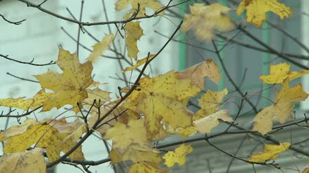 cores vibrantes : Yellow maple leaves