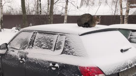 motorcar : The cat on the roof of the car   Stock Footage