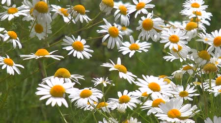 stokrotki : Daisies on a meadow