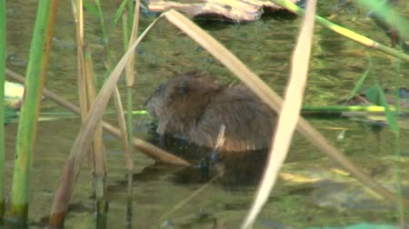 nutria : Water rat in a pond
