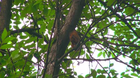 red rodent : Squirrel on a tree Stock Footage
