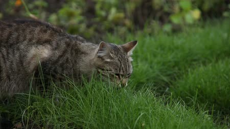 british cat : Cat eats grass