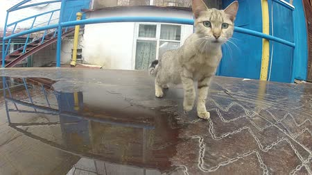 csavargó : Cat on the iron roof