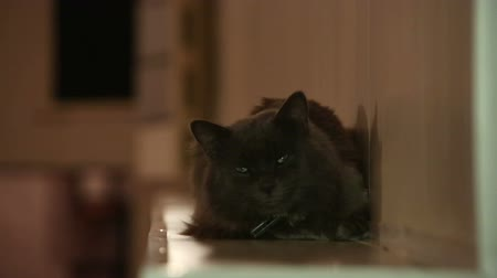 lying cat : Black cat blinking eyes
