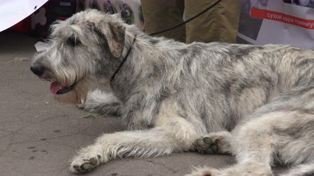 bakımlı : Irish wolfhound. Breed greyhounds. Shot in 4K (ultra-high definition (UHD)), so you can easily crop, rotate and zoom, without losing quality!  Real time.