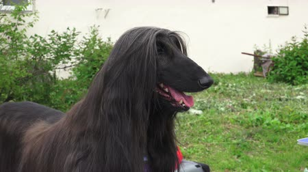 bakımlı : Afghan hound. Breed greyhounds. Shot in 4K (ultra-high definition (UHD)), so you can easily crop, rotate and zoom, without losing quality!  Real time.