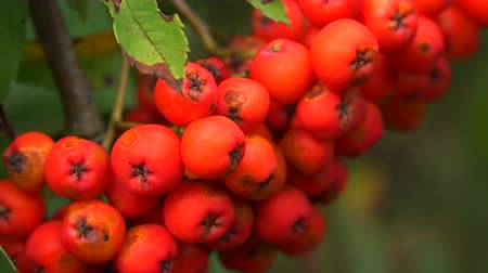 sorbus : Bunch of red rowan. Shot in 4K (ultra-high definition (UHD)), so you can easily crop, rotate and zoom, without losing quality!  Real time.