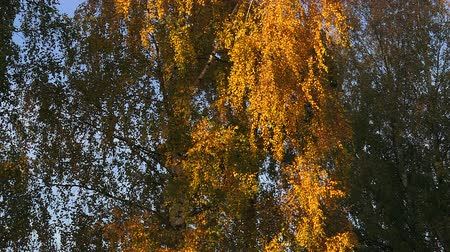 denteado : Yellow birch leaves against the blue sky. Real time. Vídeos