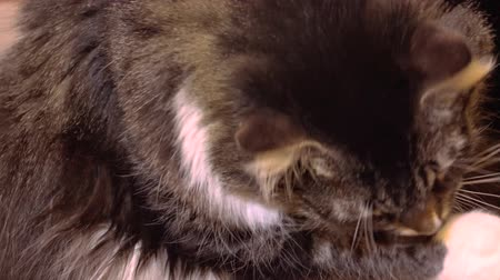 domestic short haired : Gray cat washes. Shot in 4K ultra-high definition UHD, so you can easily crop, rotate and zoom, without losing quality!  Real time.