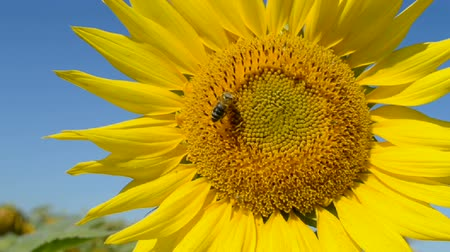 dożynki : Sunflower closeup with insects on blue sky in sunny day, nature details