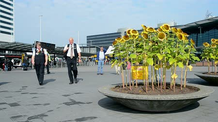 в ожидании : sunflowers in Amsterdam Airport Schiphol on September 16, 2014 in Amsterdam, Netherlands. Schiphol - one of the biggest European airports, it opened on September 16, 1916.