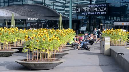 očekával : sunflowers in Amsterdam Airport Schiphol on September 16, 2014 in Amsterdam, Netherlands. Schiphol - one of the biggest European airports, it opened on September 16, 1916.