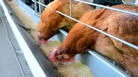 çiftlik : bird farm, rooster, chicken closeup