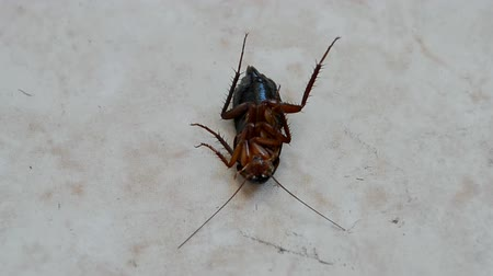 bio hazardous : cockroach on the floor under insecticide after disinfection, insect closeup diversity