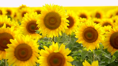 girassóis : Sunflower field, backlit, close-up.