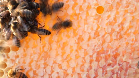 çerçeveler : honeycombs. close up Stok Video