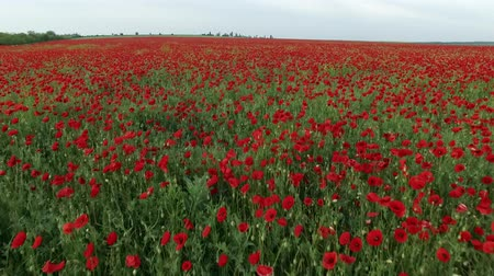 haşhaş : Field full of red poppies