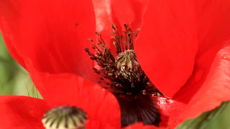 estigma : Poppy flower close-up