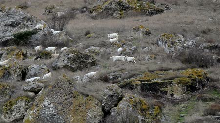 skins : Goats on a mountain pasture