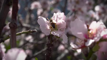 yellowstone : bee pollinates almond flower in spring