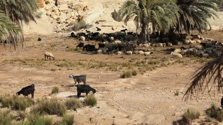 herder : sheep graze in an oasis of the Tunisian desert under palm trees. Full HD Stock Footage