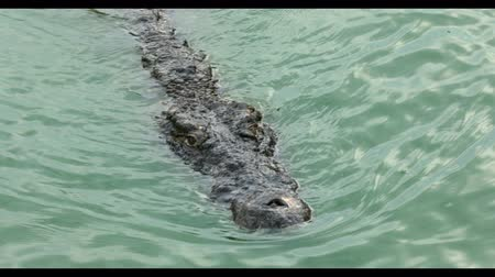 čelisti : Crocodile floating in water river. Large freshwater crocodile. Ultra HD