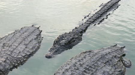 crocodilo : a group of large crocodiles resting on the shore of the pond in silence. UltraHD