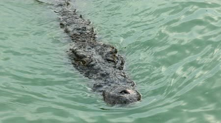Нил : Crocodile floating in water river. Large freshwater crocodile. Ultra HD