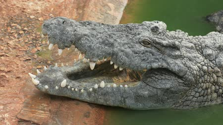 nílus : The crocodile is opening its mouth at the crocodile farm in Tunisia. UltraHD