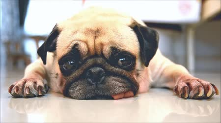 комфорт : Close-up face of Cute pug puppy dog sleeping rest by chin and tongue sticking out lay down on tile floor Стоковые видеозаписи