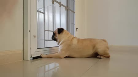 havlama : Cute pug dog run to the door and barking to someone to come home