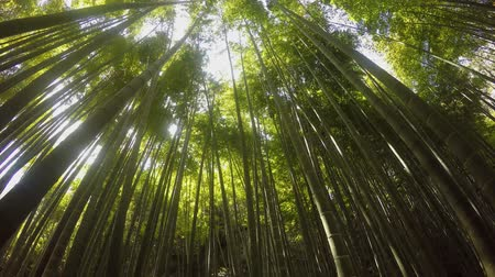 bamboo forest : wind is blowing into a bamboo forest Stock Footage